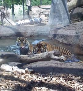 Bengal tigers at the Topeka Zoo
