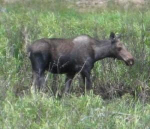 Moose in Breckenridge